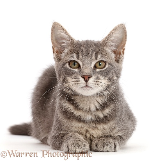Grey tabby kitten sitting lying with head up, white background