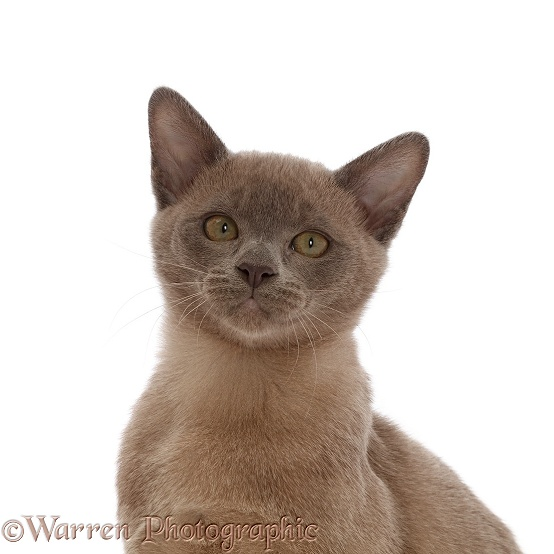 Burmese kitten, portrait, white background