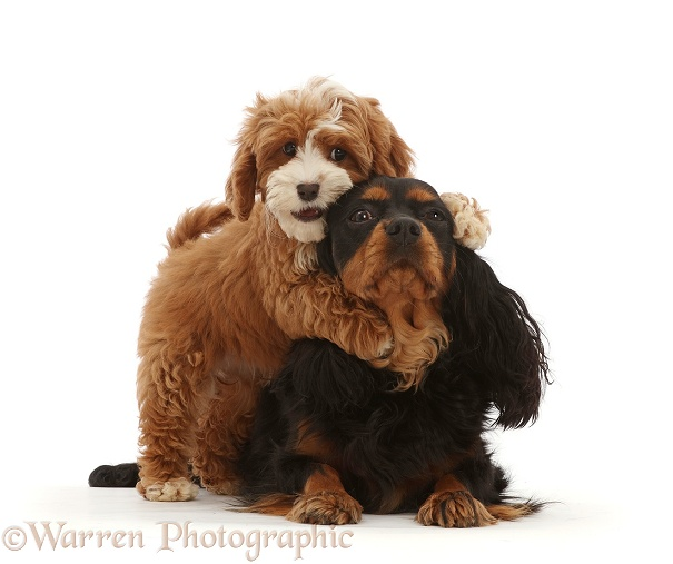 Cavapoo puppy grabbing Black-and-tan Cavalier King Charles Spaniel, white background