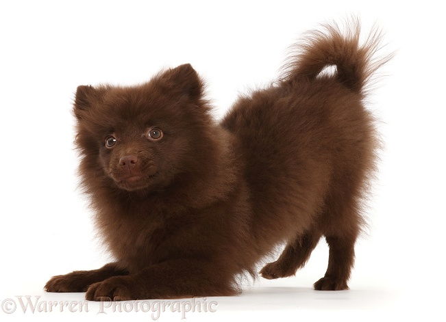 Chocolate brown Pomeranian puppy in play-bow, white background