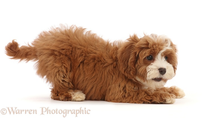 Cavapoo puppy in play-bow, white background