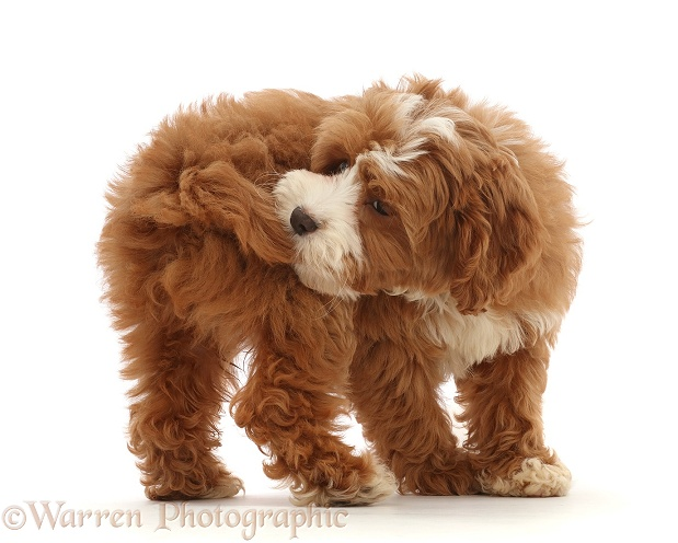 Cavapoo puppy catching her own tail, white background