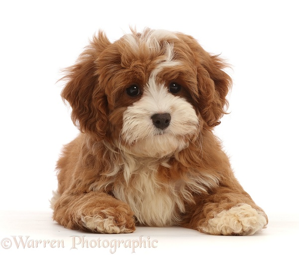 Cavapoo puppy lying head up, white background