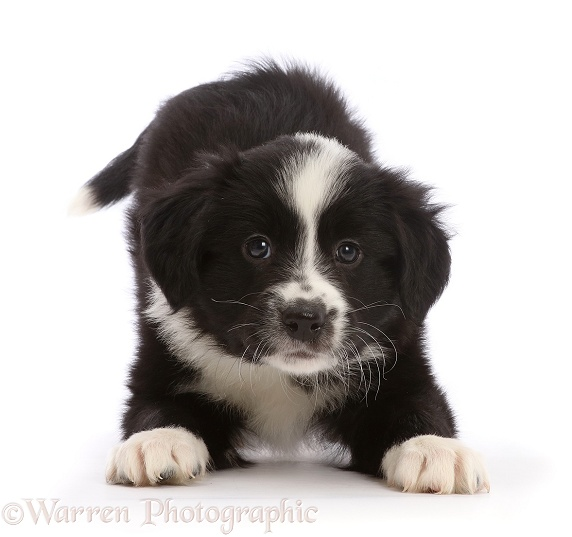 Black-and-white Border Collie puppy, in play-bow, white background