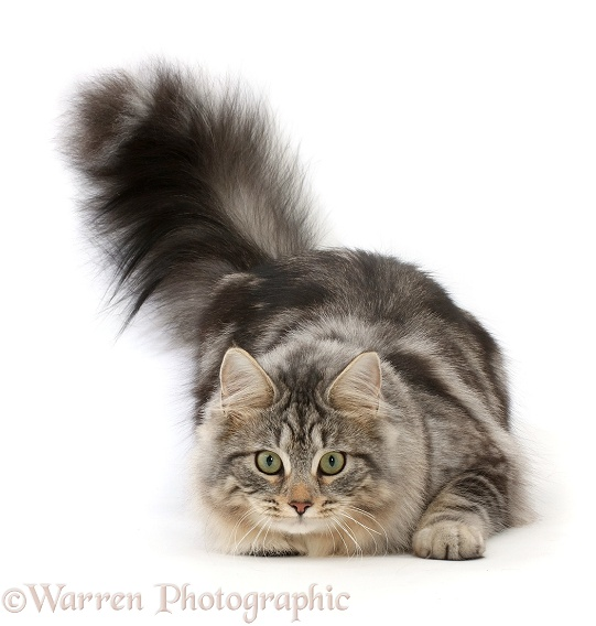 Silver tabby cat, Freya, 7 months old, ready to pounce, white background