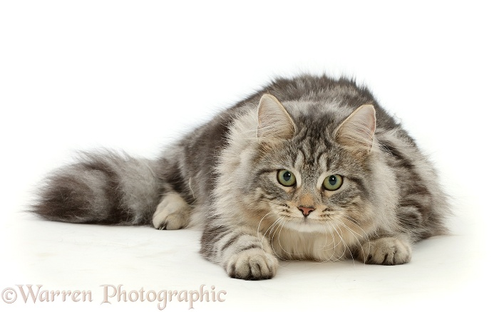 Silver tabby cat, Freya, 7 months old, lying with head up, white background