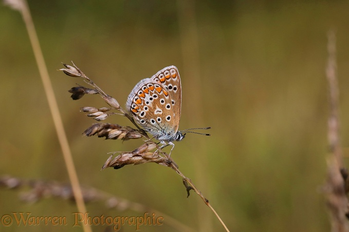 Common Blue Butterfly (Polyommatus icarus) female on grass seed head