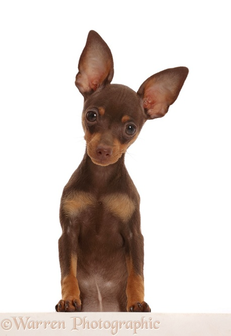 Brown-and-tan Miniature Pinscher puppy, paws over, white background