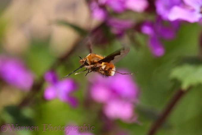 Bee Fly (Bombylius major) approaching Honesty flowers