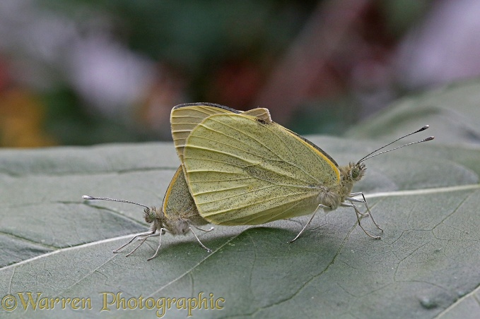 Large White Butterfly (Pieris brassicae) mating pair