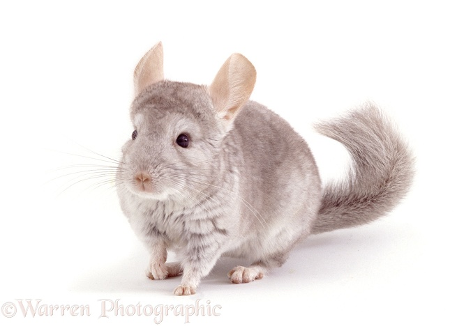 Chinchilla (Chinchilla lanigera).  High Andes, white background