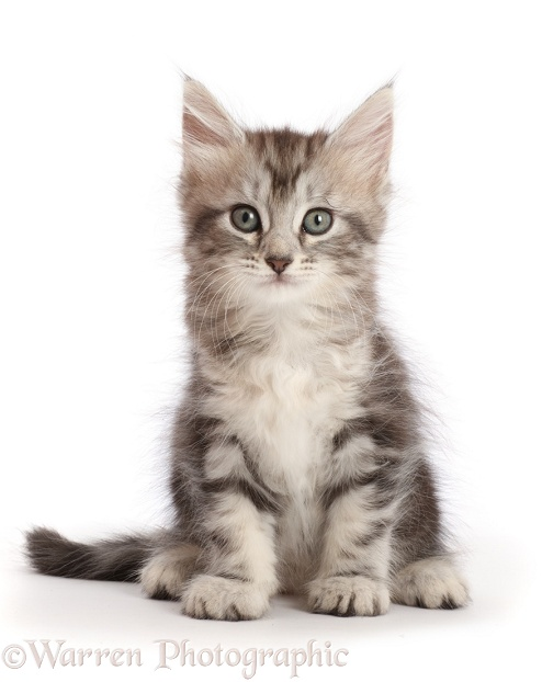 Silver tabby kitten, Freya, 6 weeks old, sitting, white background