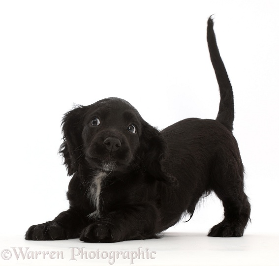 Playful Black Cocker Spaniel puppy, white background