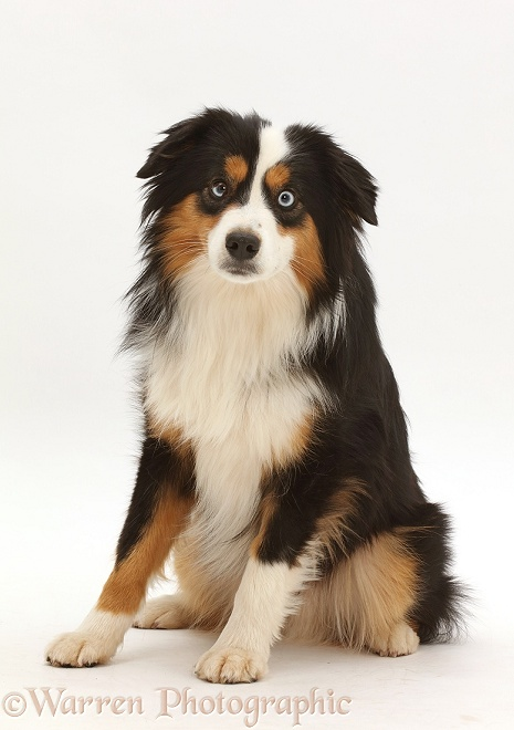 Tricolour Mini American Shepard dog, white background