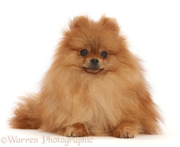 Orange Pomeranian, white background