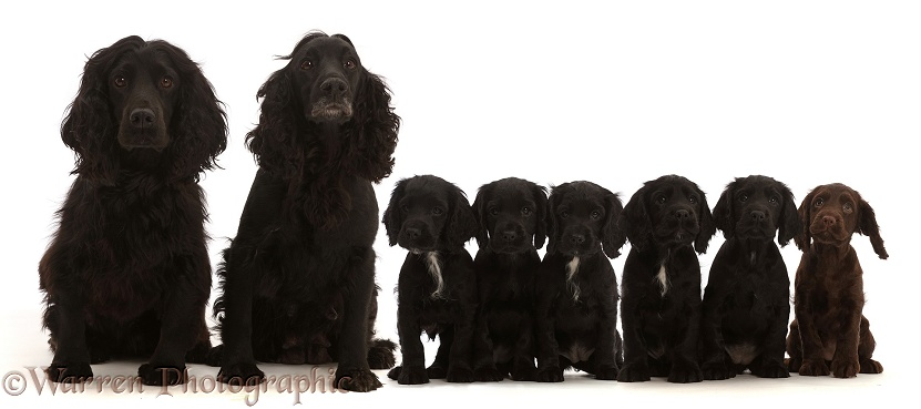 Adult black Cocker Spaniel pair with six puppies, white background