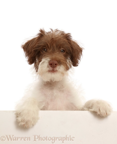 Brown-and-white scruffy mutt with paws over, white background