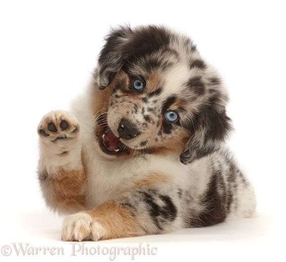 Mini American Shepherd puppy with raised paw, white background