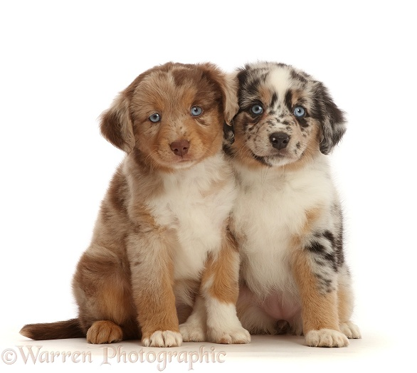 Two merle Mini American Shepherd puppies, white background
