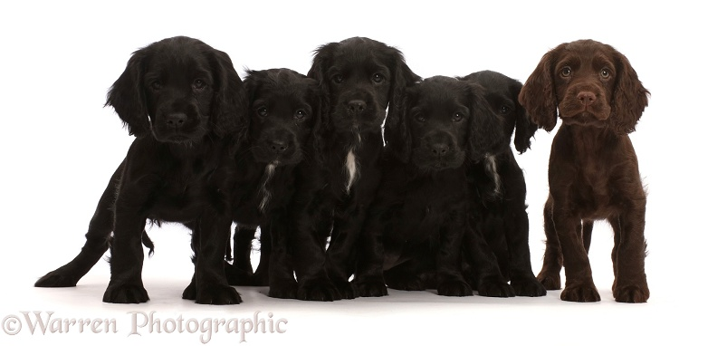 Five Black and one Chocolate Cocker Spaniel puppies, white background