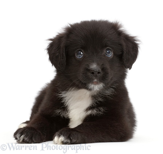 Black-and-white Miniature American Shepherd puppy, 5 weeks old, white background
