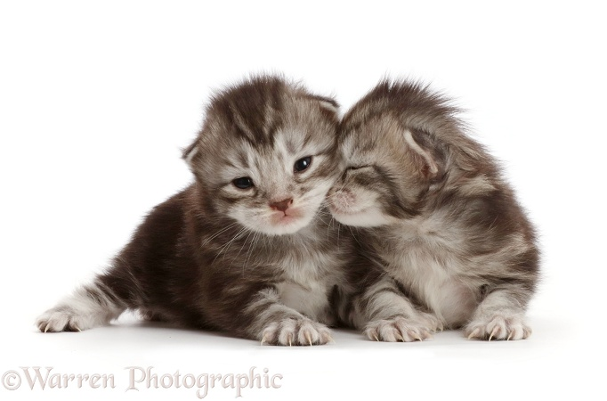 Silver tabby kittens, Freya and Blaze, 13 days old, white background
