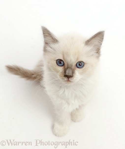 Ragdoll x Siamese kitten, 7 weeks old, sitting and looking up, white background