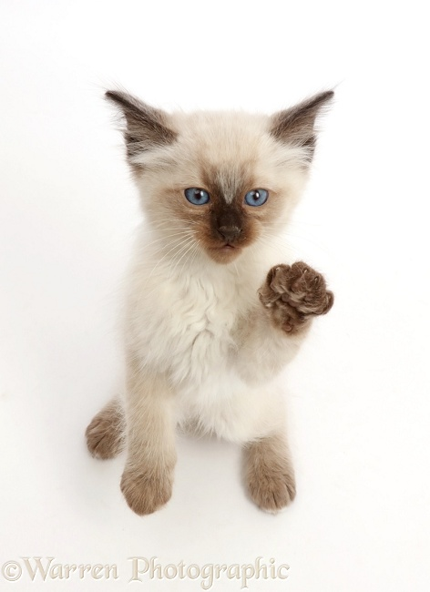 Ragdoll x Siamese kitten, 7 weeks old, standing and looking up, white background