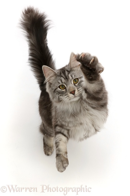 Silver tabby cat, Blaze, 10 months old, jumping up and swiping with a paw, white background