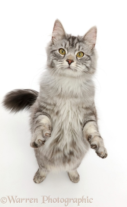 Silver tabby cat, Blaze, 10 months old, standing up, white background