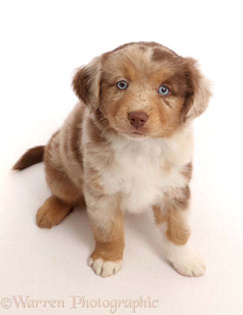 Red merle Mini American Shepherd puppy, white background
