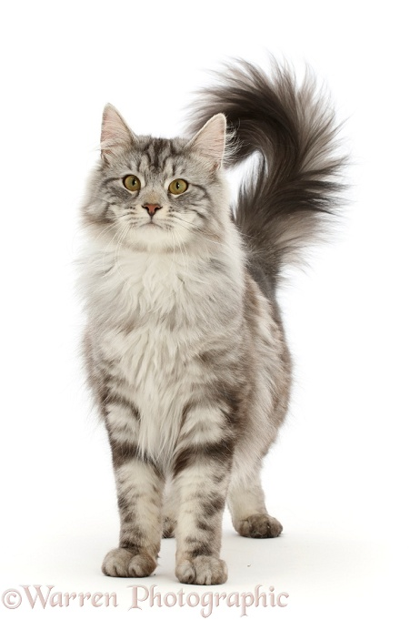Silver tabby cat, Blaze, 10 months old, standing with tail erect, white background
