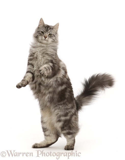 Silver tabby cat, Blaze, 10 months old, jumping up, white background