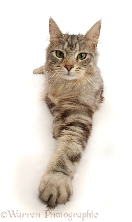 Silver tabby cat, Freya, 10 months old, with outstretched paw, white background