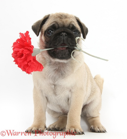 Fawn Pug pup, 8 weeks old, holding a red rose, white background