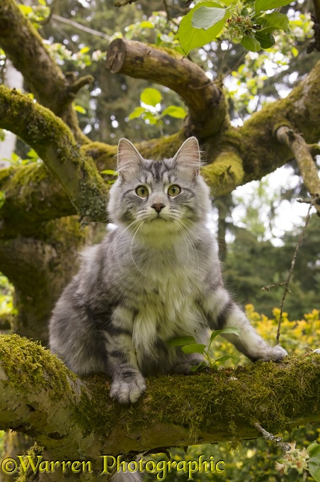 Silver tabby cat, Blaze, 10 months old, up a tree