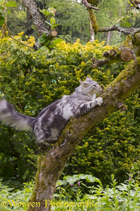 Silver tabby cat, Freya, 10 months old, climbing a tree