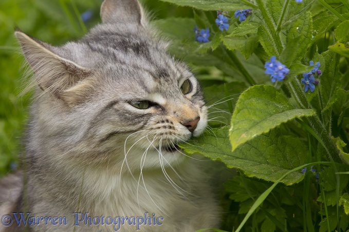 Silver tabby cat, Freya, 10 months old, eating leaves
