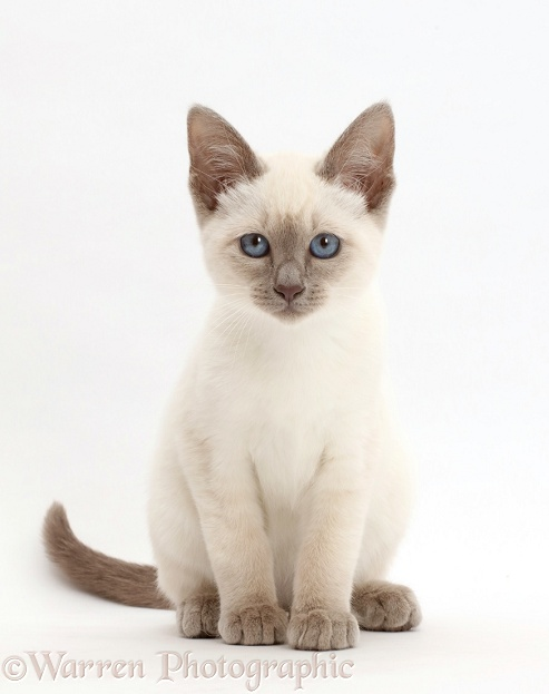 Blue-point kitten, white background