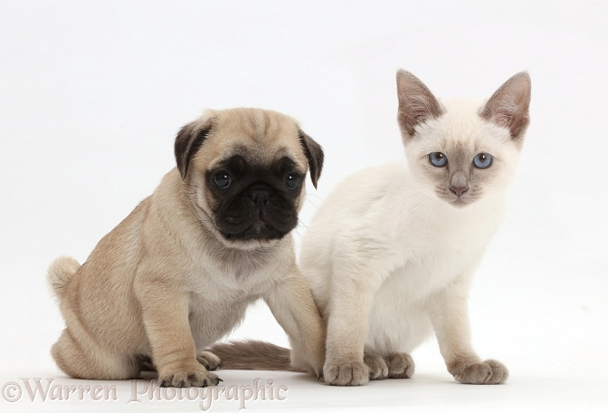 Blue-point Birman-cross kitten with Pug puppy, white background