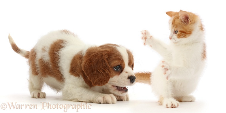 Blenheim Cavalier King Charles Spaniel puppy, and playful ginger-and-white kitten, white background