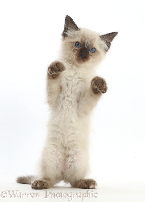 Ragdoll x Siamese kitten, 7 weeks old, standing with paws up, white background