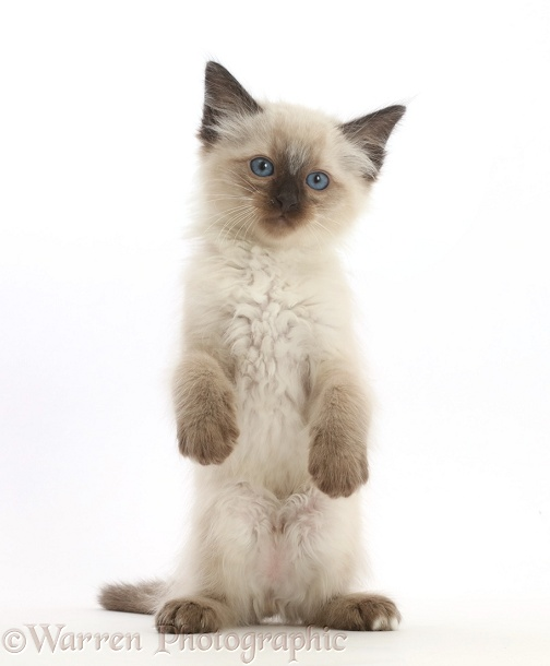 Ragdoll x Siamese kitten, 7 weeks old, standing with paws held loose, white background