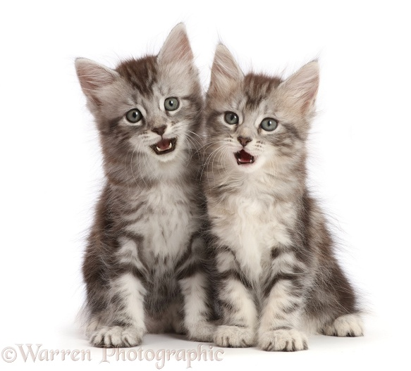 Silver tabby kittens, Freya and Blaze, 6 weeks old, making funny expressions, open mouths, white background