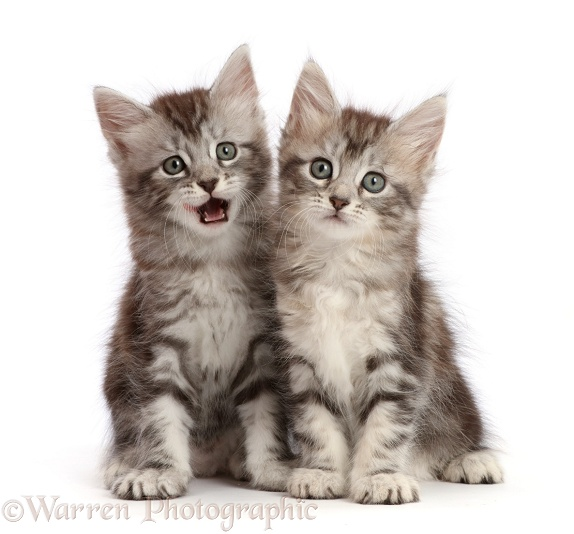 Silver tabby kittens, Freya and Blaze, 6 weeks old, Blaze licking lips, white background