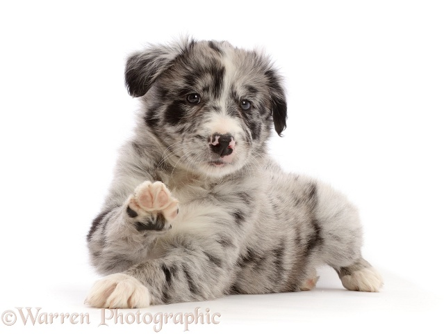Merle Border Collie puppy, lying head up and raised paw, white background