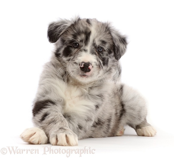 Merle Border Collie puppy, lying head up and paws crossed, white background