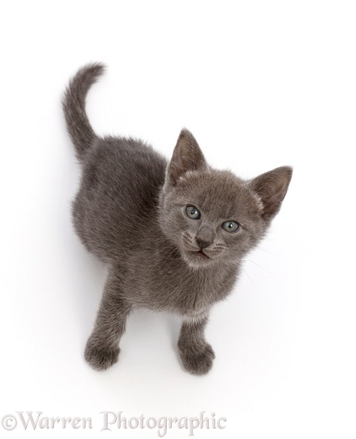 Blue kitten, sitting and looking up, white background