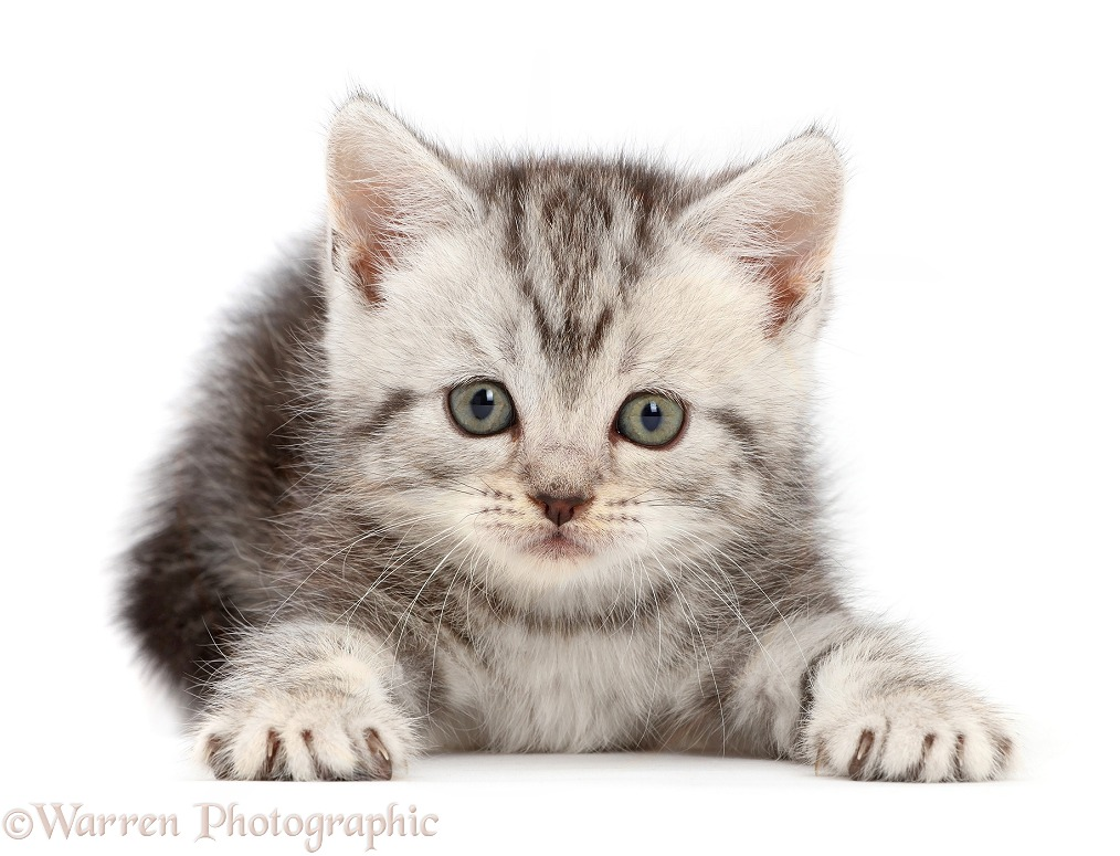 Silver tabby kitten, 10 weeks old, white background
