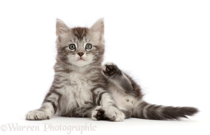 Silver tabby kitten, Blaze, 6 weeks old, lounging, white background